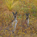 Bush Kangaroos by Tony Brown