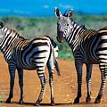 Bushnell's Zebras by Tina Manley