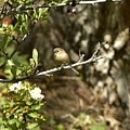 Bushtit On Branch In The Sun by Linda Brody