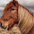 Bushy Icelandic Horse by Pradeep Raja PRINTS