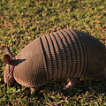 Busy Armadillo by Zina Stromberg