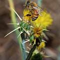 Busy Bee - 2 by Jonathan Hansen