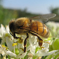 Busy Bee 6 by Rebecca Shupp