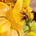 Busy Bee by Matthew Wilson