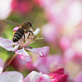 Busy Bee On A Crabapple Tree by Catherine Avilez