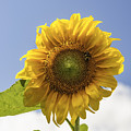Busy Bee On A Sunflower by Debra Fedchin