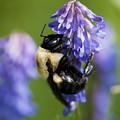Busy Bumblebee.. by Nina Stavlund