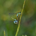 Busy Damsels by Kathy Gibbons