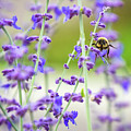 Busy In Lavender 3 by Steve Harrington