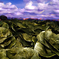 Butter Lettuce In Yuma by Lisa Redfern