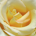 Butter Rose by Cate Franklyn