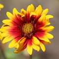 Butter Yellow And Crimson Red Coneflower by Colleen Cornelius