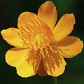 Buttercup by Aimee L Maher ALM GALLERY