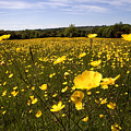 Buttercup Field by Bob Kemp