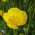 Buttercup Flower by Santiago Fagan