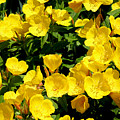 Buttercup Flowers by Corey Ford