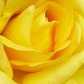 Buttercup Rose by Florene Welebny