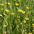 Buttercups And Green Grass At Moore State Park by Michael Saunders