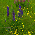 Buttercups And Lupines by Irwin Barrett