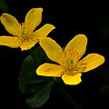 Buttercups by Crystal Massop