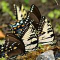 Butterflies by Benjamin Hoffman
