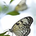 Butterflies by Bryce Flynn