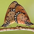 Butterflies Mating by Krisdian Wardana