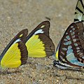 Butterflies Puddling by Rashdy Arshad