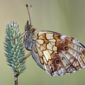 Butterfly - Meadow Satyrid by Michal Boubin