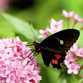 Butterfly-1 by Craig Hosterman
