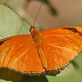 Butterfly 1 by Susan Heller