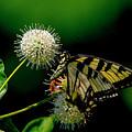 Butterfly 10 by Buddy Scott