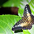 Butterfly 13a by Walter Herrit