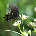 Butterfly 140 by Pamela Williams
