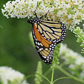Butterfly 188 by Linda Seacord