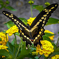 Butterfly 2 by Reed Tim