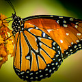 Butterfly 29 by Larry White
