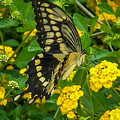 Butterfly 3 by Reed Tim