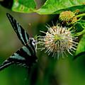 Butterfly 4  by Buddy Scott