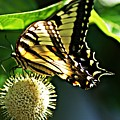 Butterfly 4 by Joe Faherty