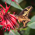 Butterfly 5 by Wesley Farnsworth