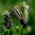 Butterfly 7 by Buddy Scott