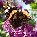 Butterfly 7 by Jean Bernard Roussilhe