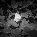 Butterfly 8 by Reed Tim