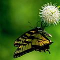 Butterfly 9 by Buddy Scott