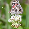 Butterfly And Bugs On Clover by Carol Groenen