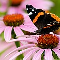 Butterfly And Cone Flowers by Larry Ricker