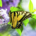 Butterfly And Lilacs by Libby Lord