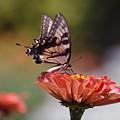 Butterfly And Orange Zinnia by Terri Winkler