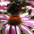 Butterfly And Pink Cone Flower by Brittany Horton